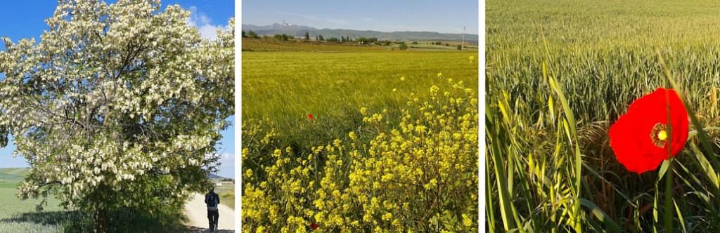 Camino de Santiago - kukkasia