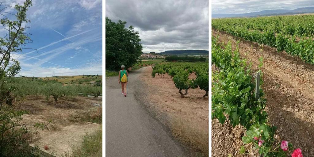 Viinipeltoja ja oliivipuita